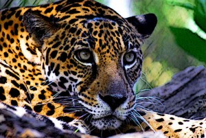 Mayan-Animals-Jaguar